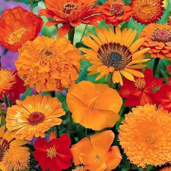 Frø til orange / røde blomster