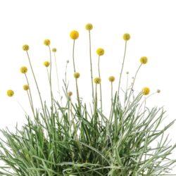 Frø til gule craspedia blomster